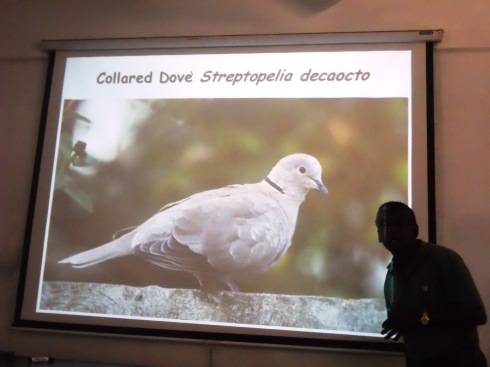 17 - Collared Dove - an Indian Species in Jaffna
