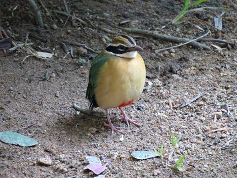Indian Pitta - Will Duncan - 17.10.2016 - Thalawathugoda
